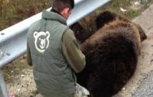 Νεκρή κι άλλη αρκούδα σε τροχαίο στην Καστοριά